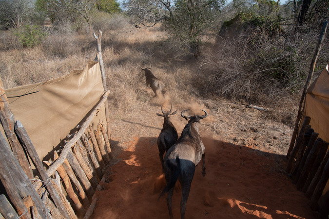Blue wildebeest take their first steps into their new home, Zinave National Park