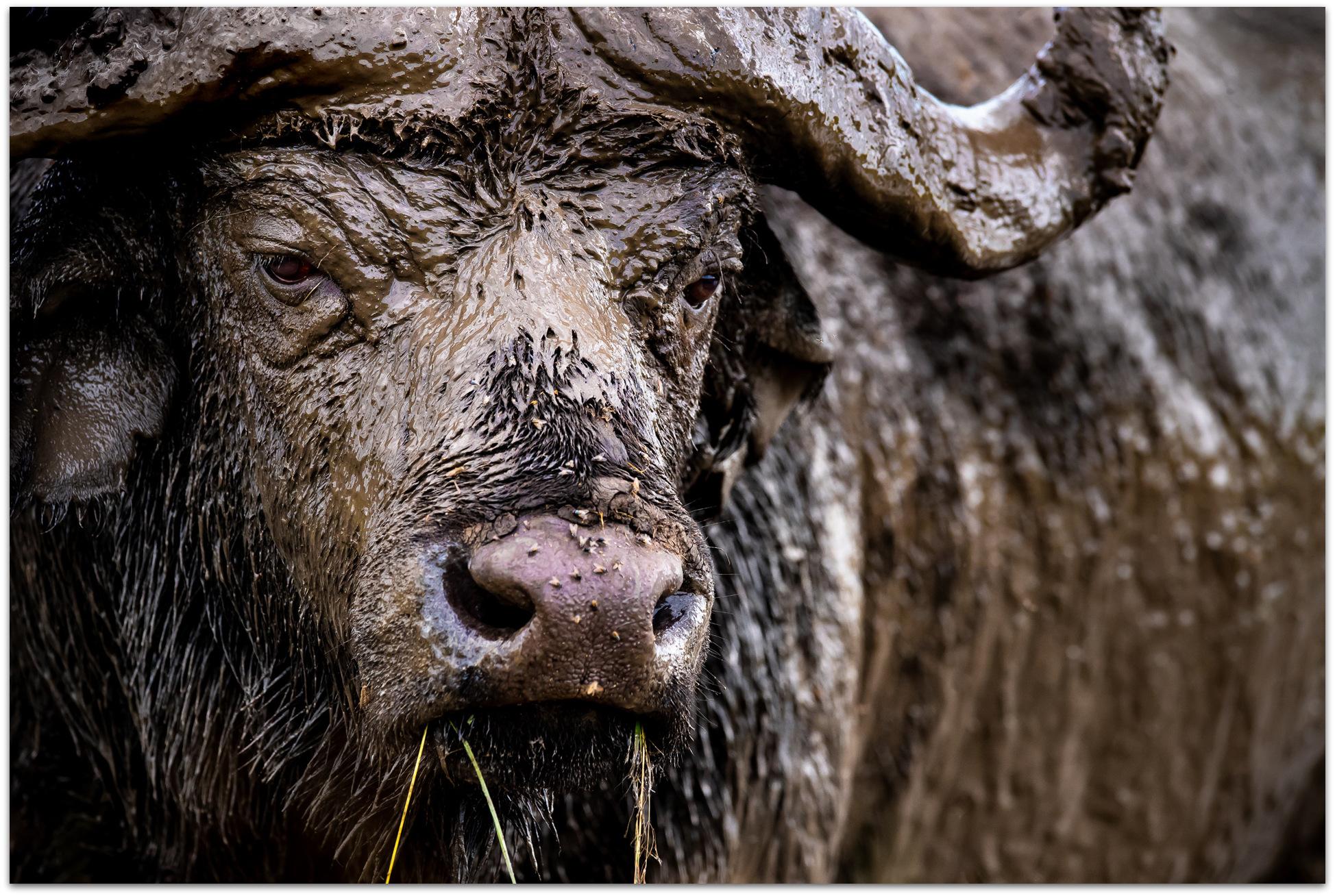 African buffalo covered in mud in the Maasai Mara