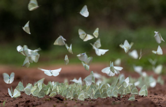 African migrant butterflies drinking moisture from the ground in Lower Zambezi National Park
