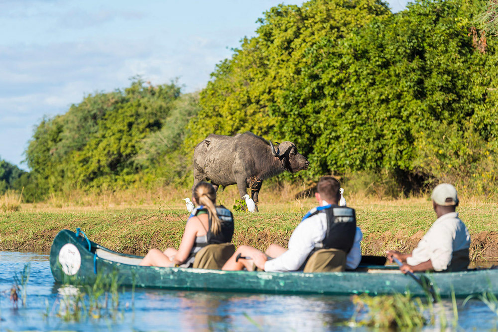 Buffalo on riverbank with guests in canoe