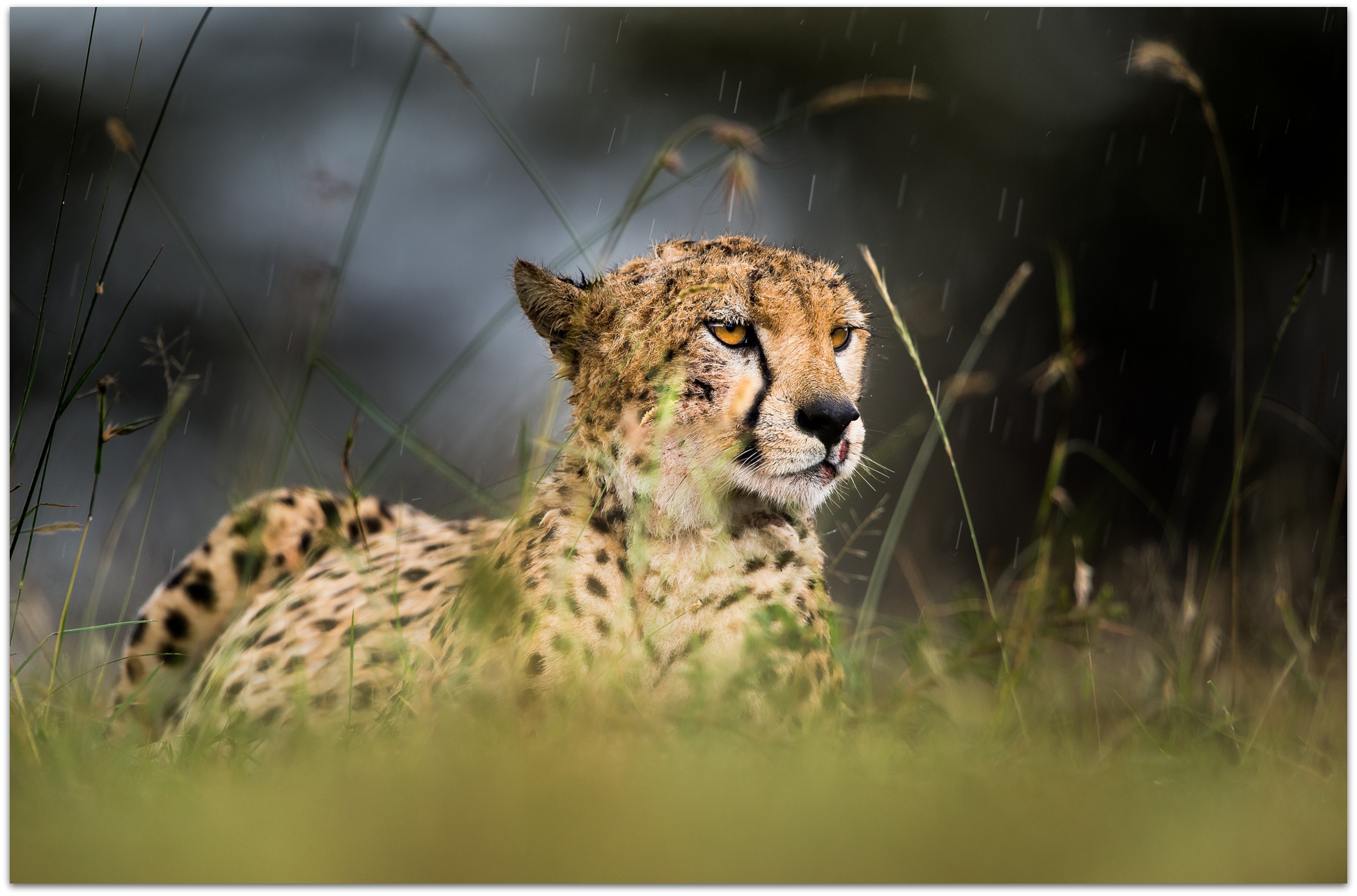 Cheetah in the rain in the Maasai Mara
