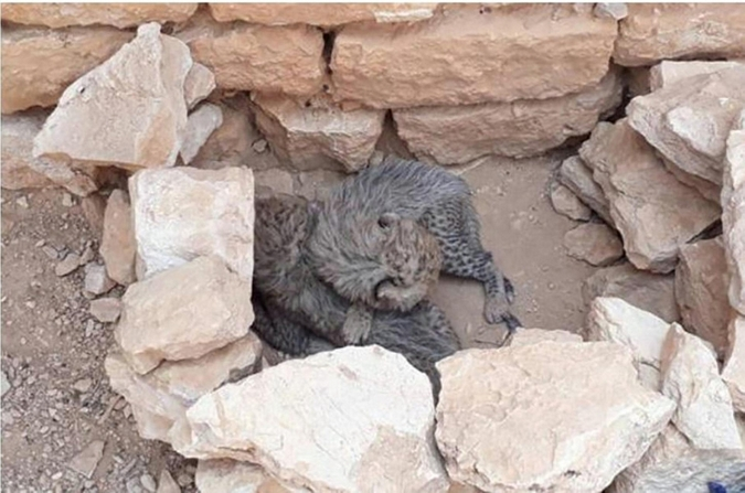 two cheetah cubs, kept in appalling conditions, were confiscated in Somaliland