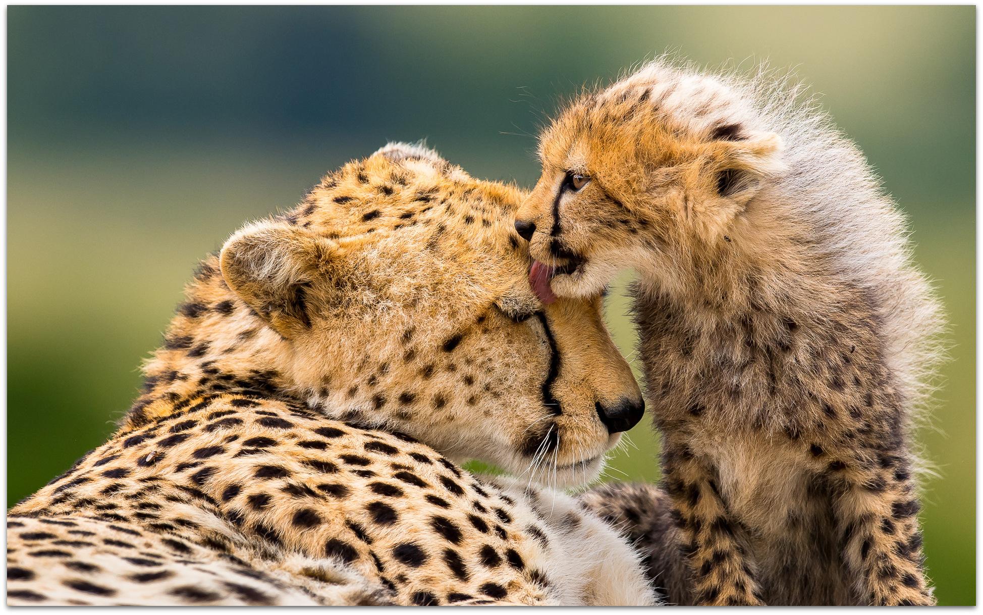 Cheetah cub and mom in the Maasai Mara
