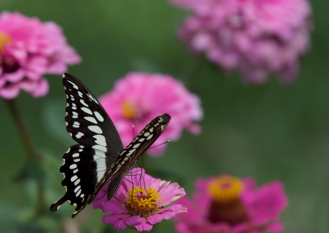 Constantine's swallowtail , butterfly