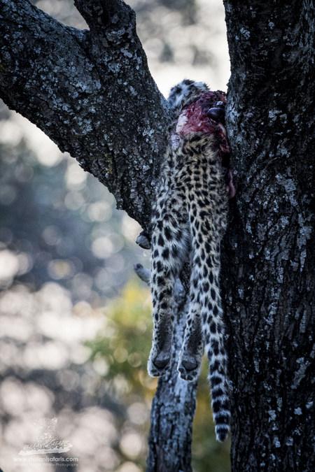 Dead leopard in a tree