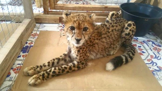 Cheetah in cage, illegal wildlife trafficking