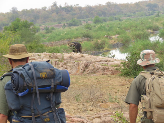 Buffalo with two rangers in Kruger National Park in South Africa
