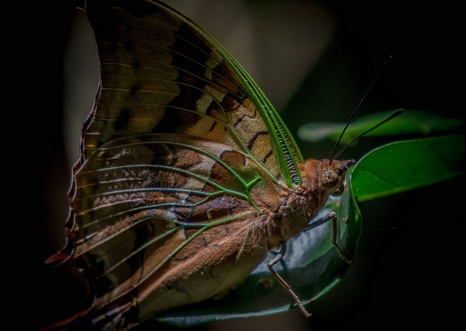 Green-veined charaxes, butterfly
