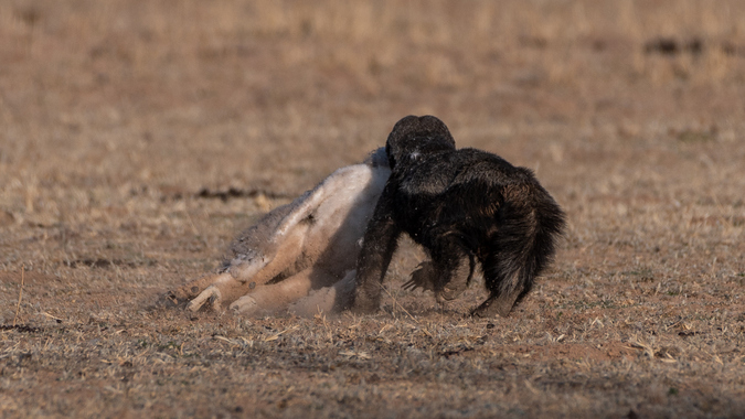 Honey badger with martial eagle chick