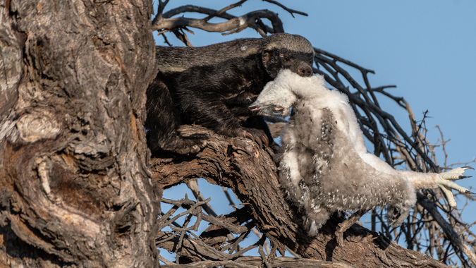 Honey badger with martial eagle chick in tree