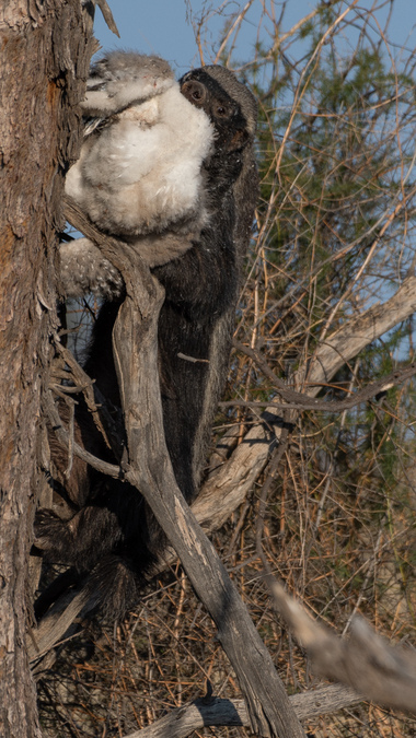 Honey badger making its way down a tree with a dead martial eagle chick