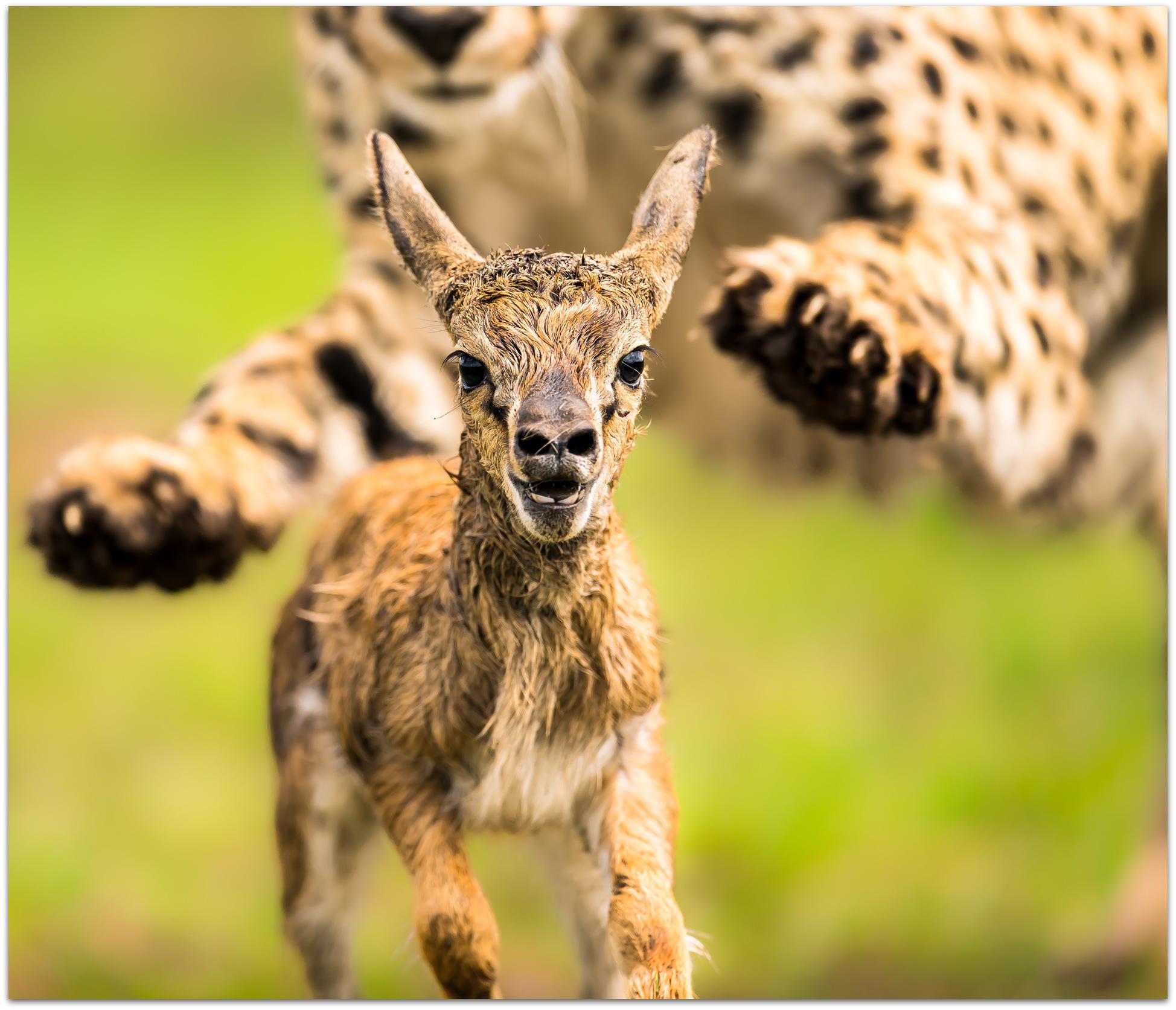 Gazelle newborn about to be caught by a cheetah in the Maasai Mara