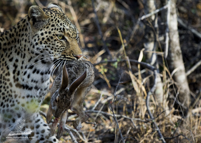 Leopard with scrub hare