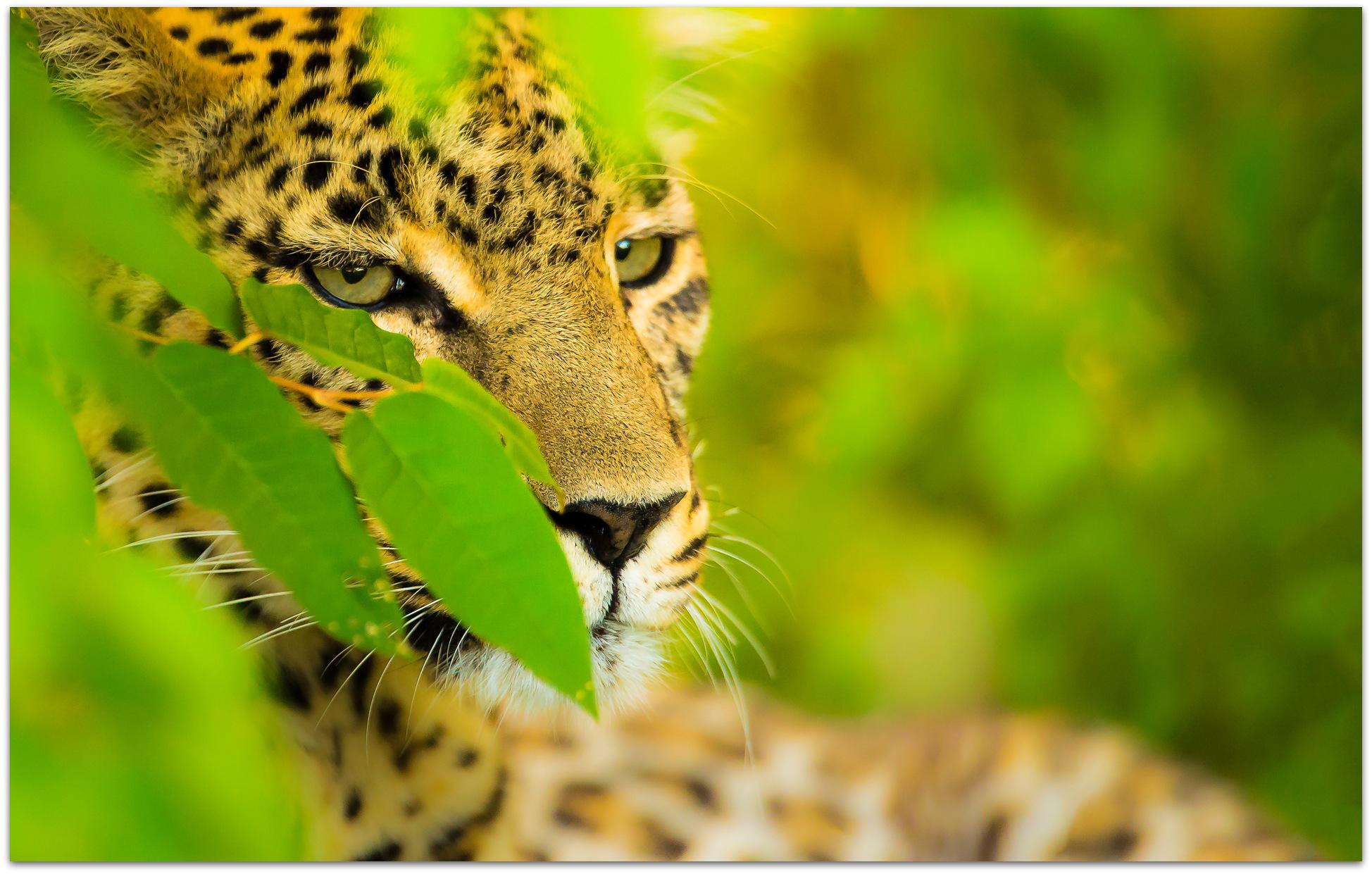Leopard up close in the Maasai Mara