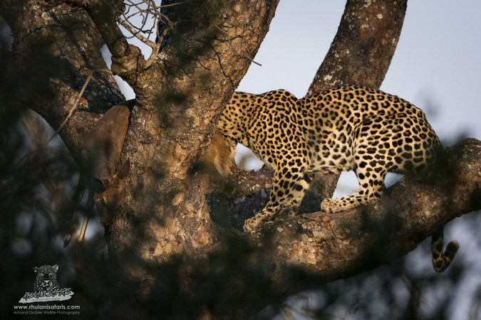 Leopard in a marula tree with prey