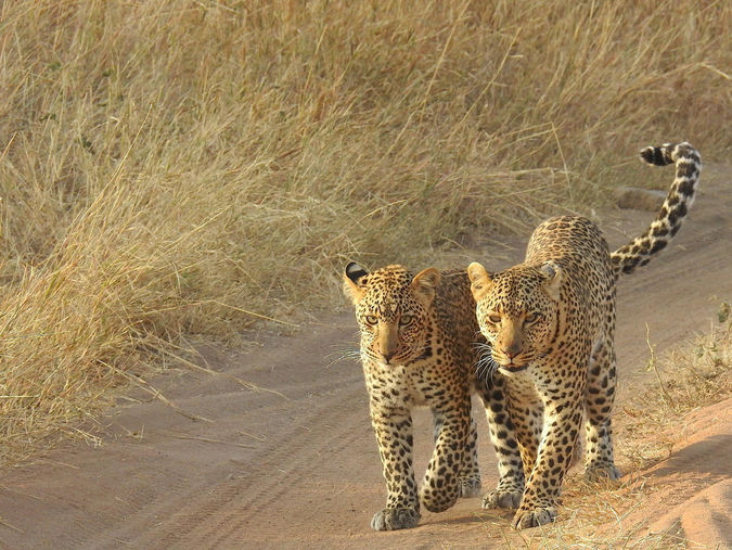 Leopard mother and cub in the grasslands of Tanzania