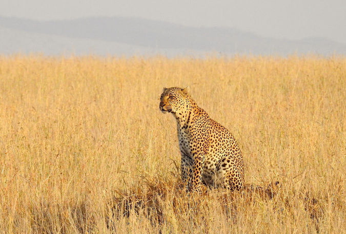 Leopard in the grasslands of Tanzania