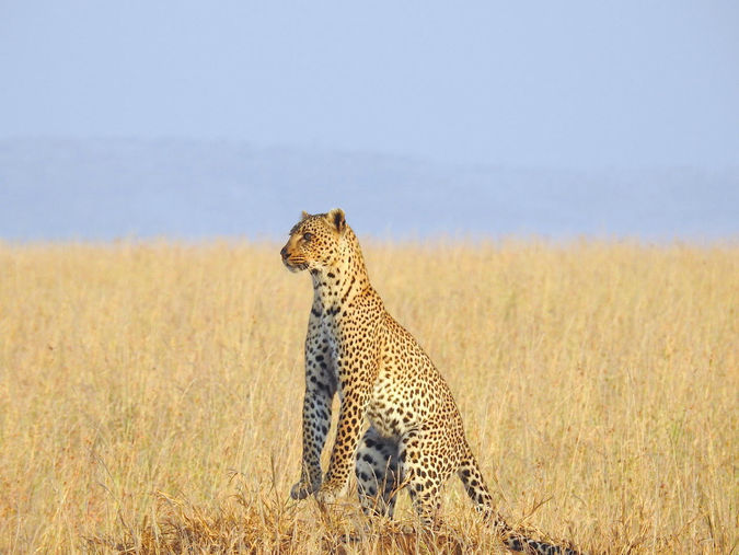 Leopard in wilderness of Tanzania standing up on her hindlegs
