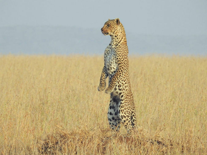 Leopard in the wilderness of Tanzania standing on hind legs