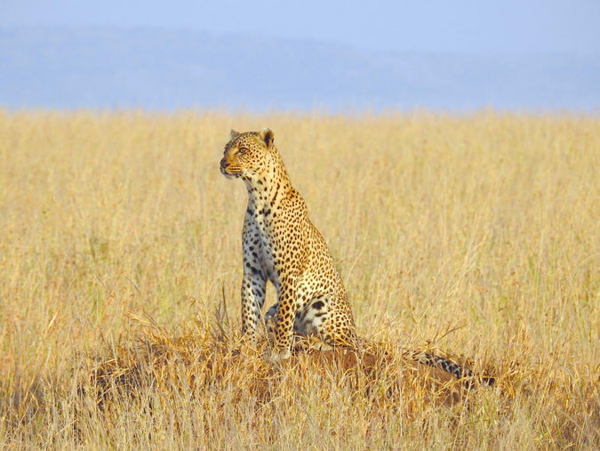 Leopard in the grasslands of Tanzania looking for her cub
