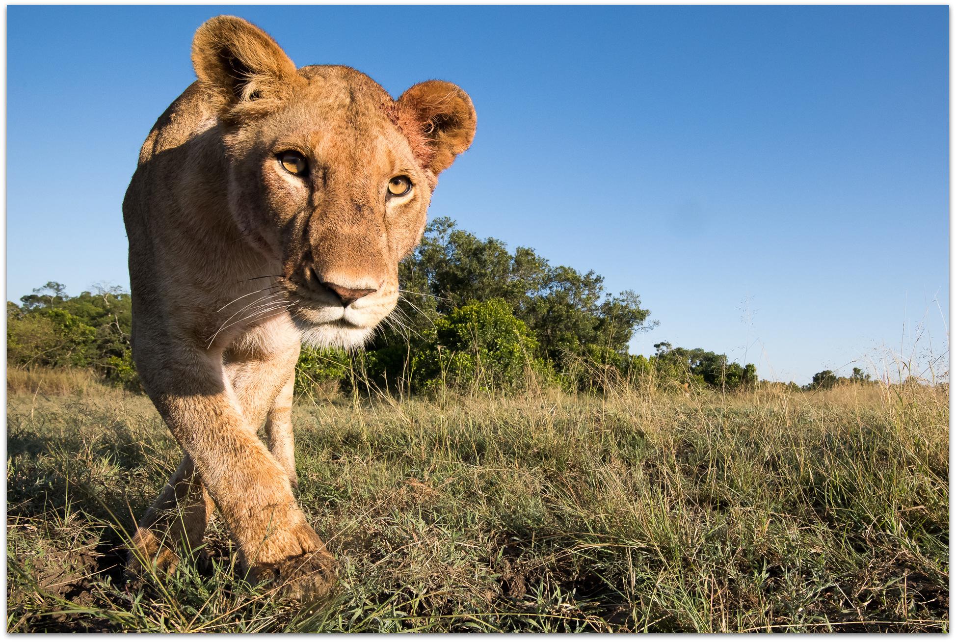 Lioness approaching camera in the Maasai Mara