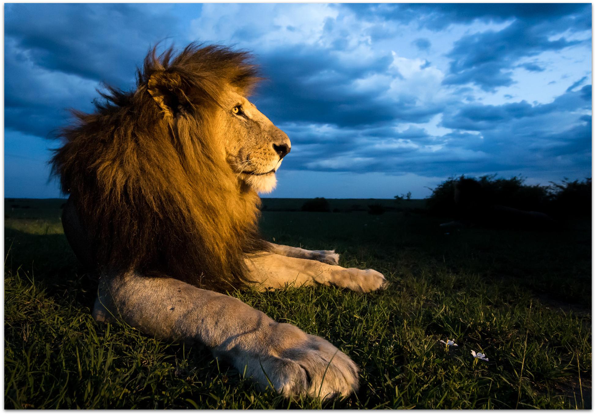 Male lion in the Maasai Mara at sunset