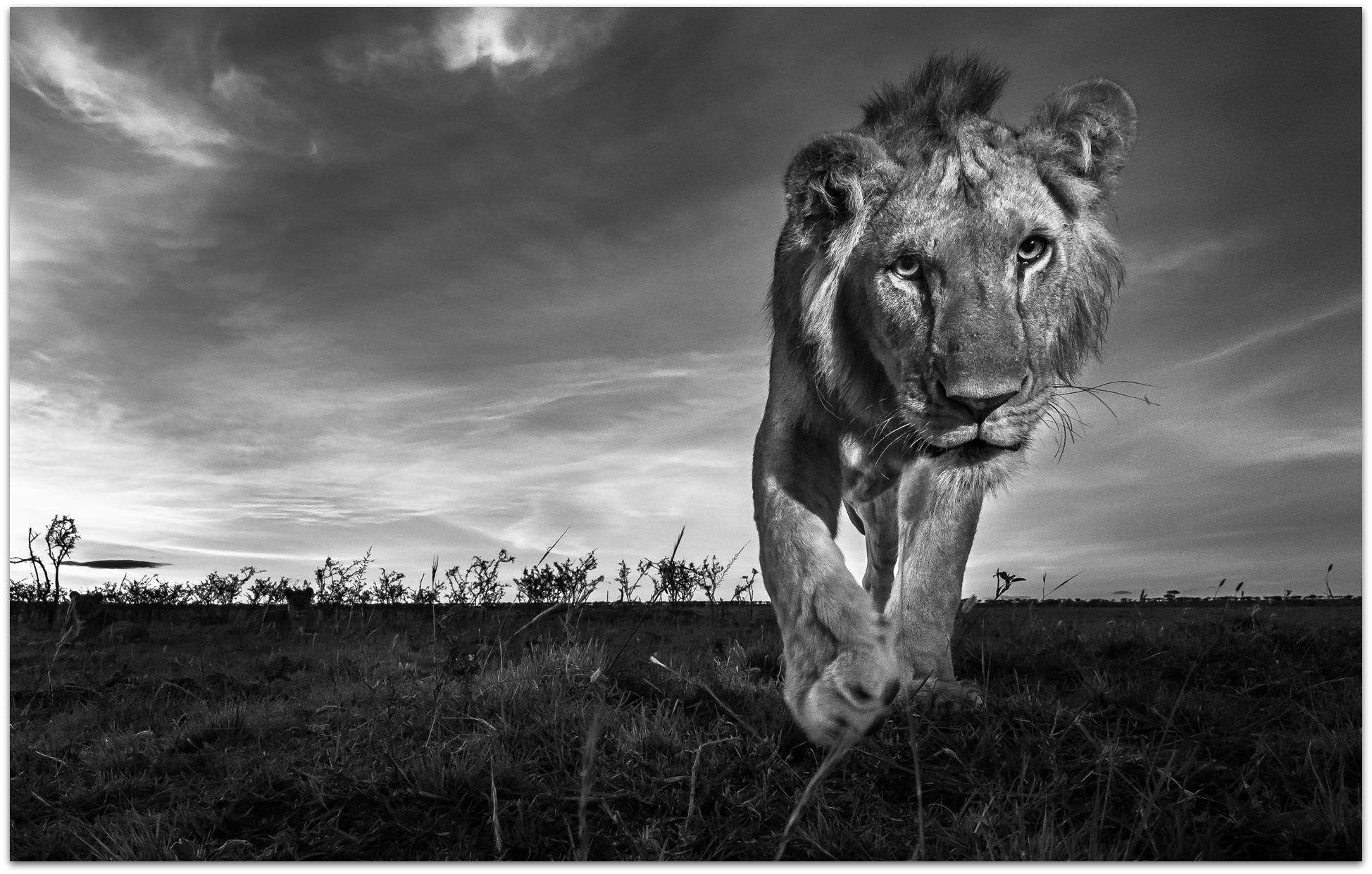 Young lion approaching camera in the Maasai Mara