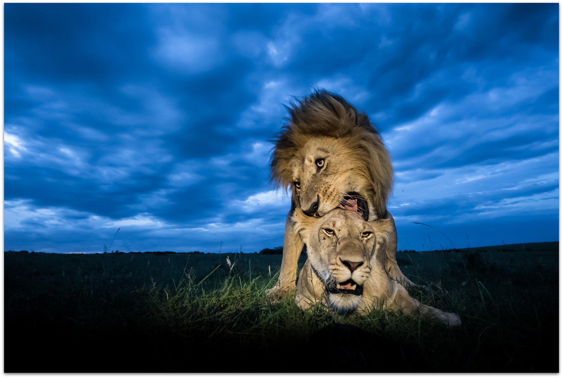 Two lions mating in the Maasai Mara