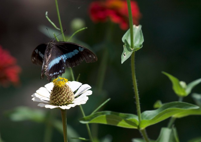 Narrow blue-banded swallowtail, butterfly