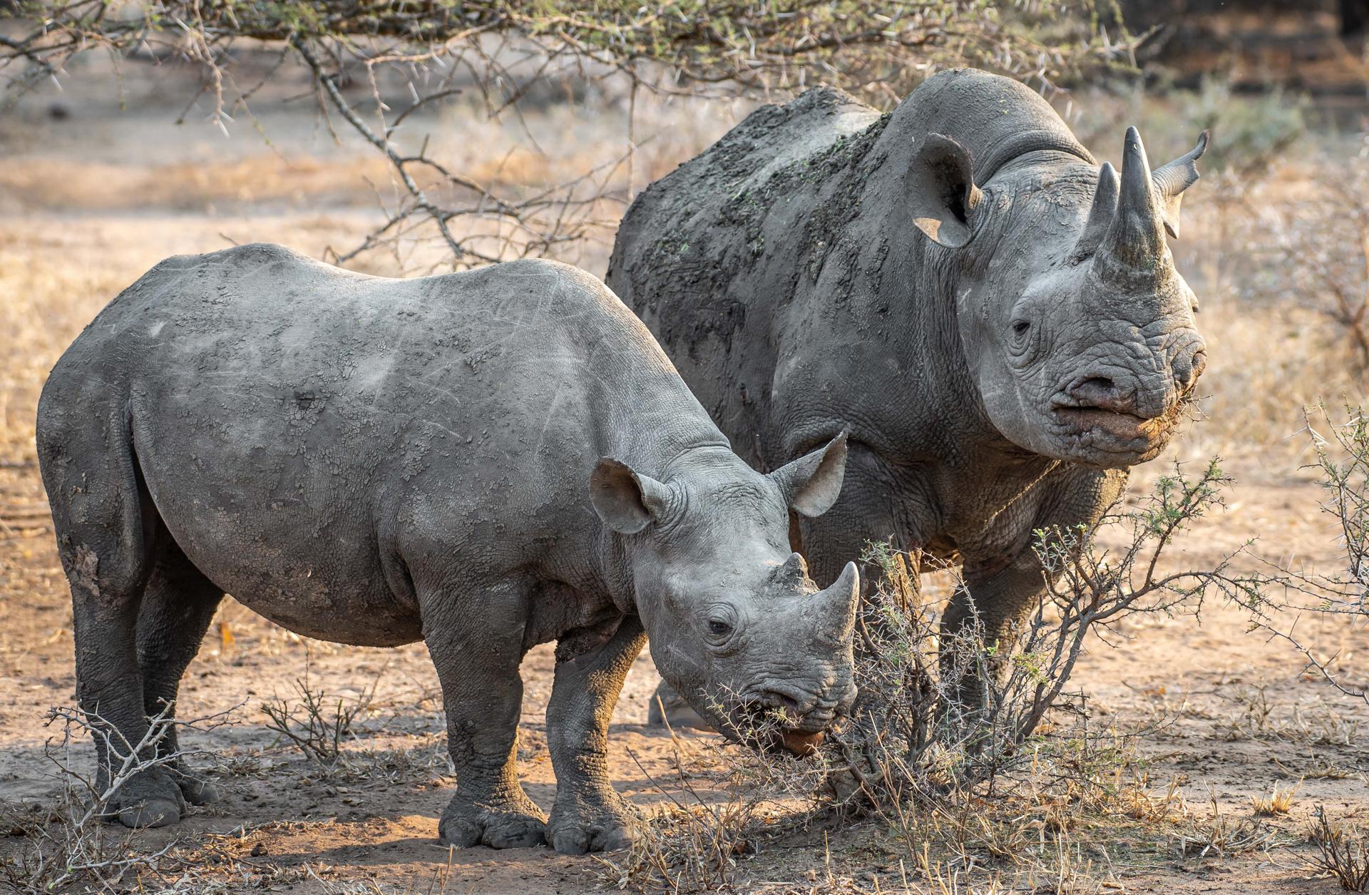 A black rhino and her calf