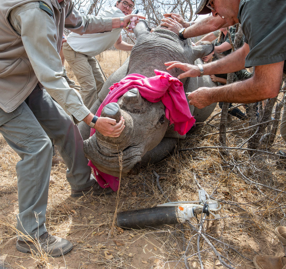 Rhino being helped by the team as part of a dehorning process