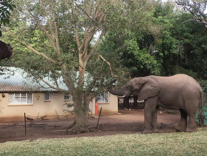 Elephant eating fig tree in garden in Kruger National Park