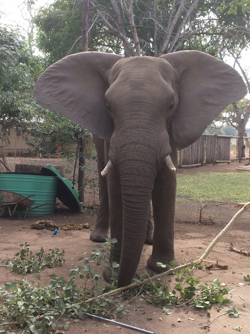 Elephant in garden in Kruger National Park