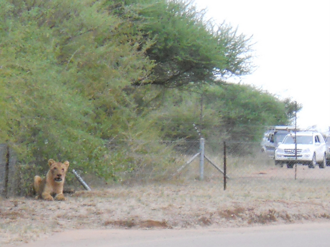 Lion sitting inside a fenced section of a rest camp in Kruger