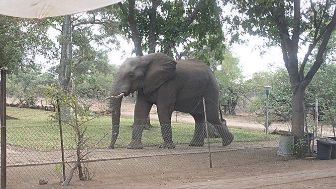 Elephant walking through garden in Kruger National Park