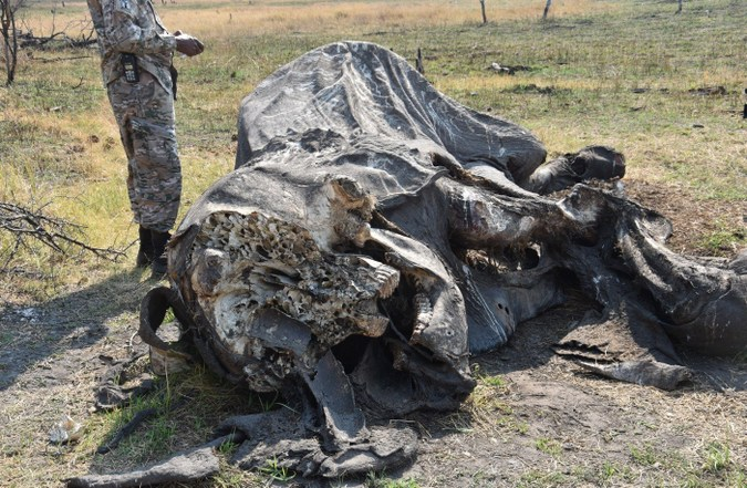 Elephant carcass in Botswana