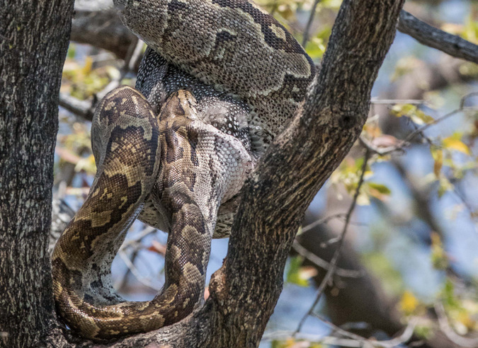 African rock python devouring helmeted guineafowl along Chobe River in Botswana