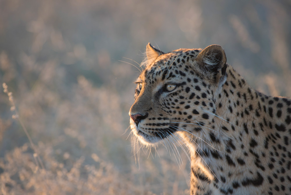 Female leopard in Etosha National Park