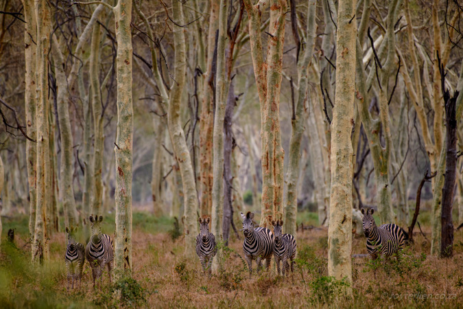 Zebras in the fever tree forest in Makuleke Concession