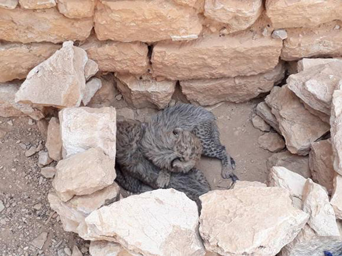 Two cheetah cubs in appalling conditions before being confiscated by wildlife authorities