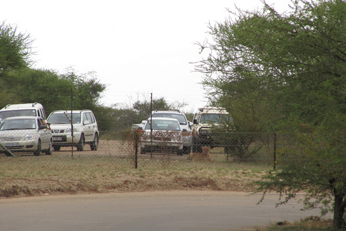 A lion inside a camp in Kruger with vehicles around it