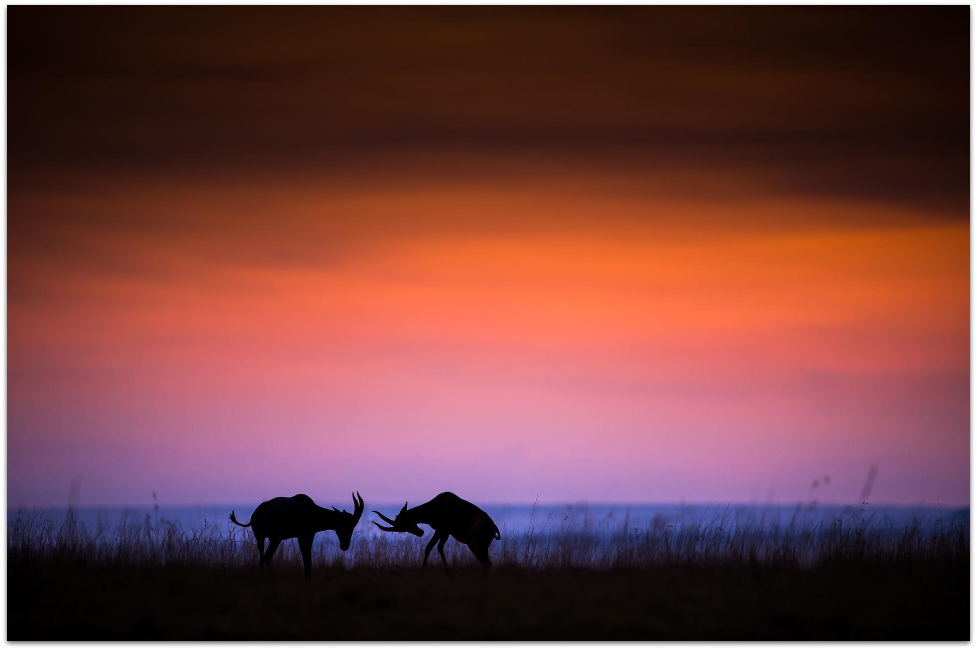 Topi sparring in the Maasai Mara