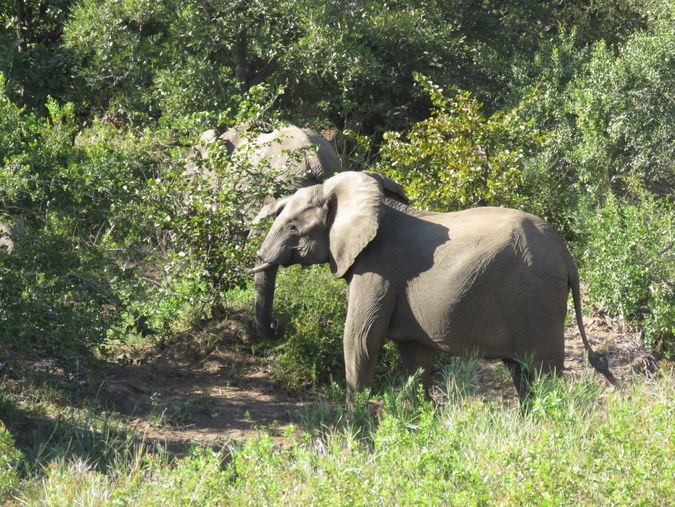 Elephants in Kruger National Park in South Africa
