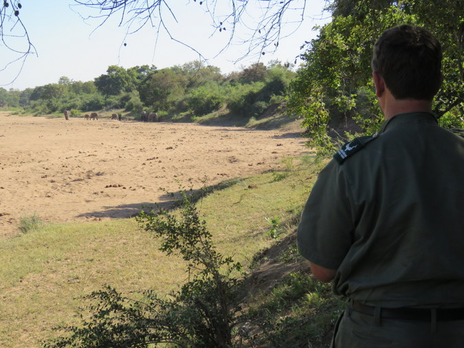 Ranger watching a herd of elephants approaching in Kruger National Park in South Africa
