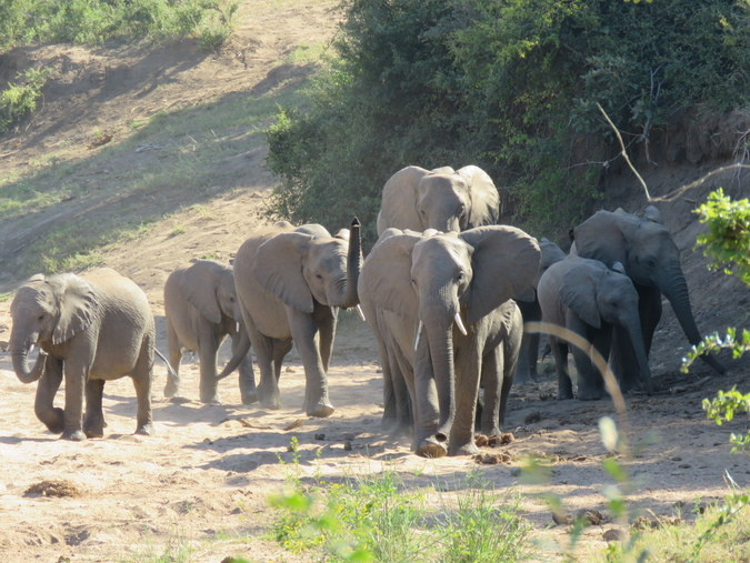 Elephant herd in dry riverbed in Kruger National Park in South Africa