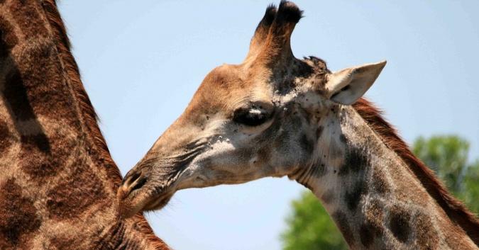 Stock image of a giraffe calf