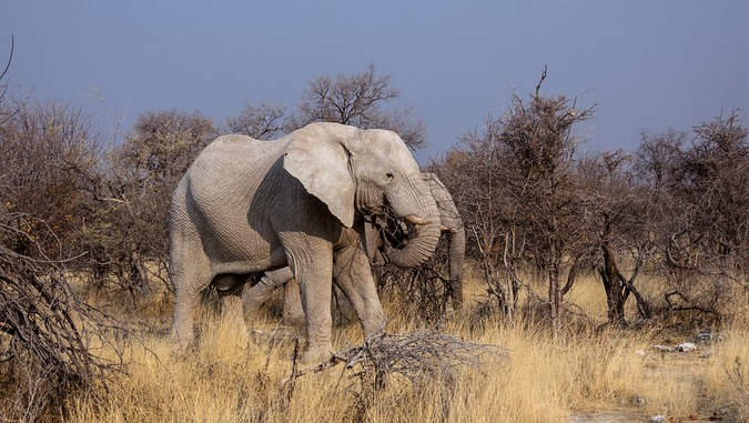 Elephant browsing in Botswana park