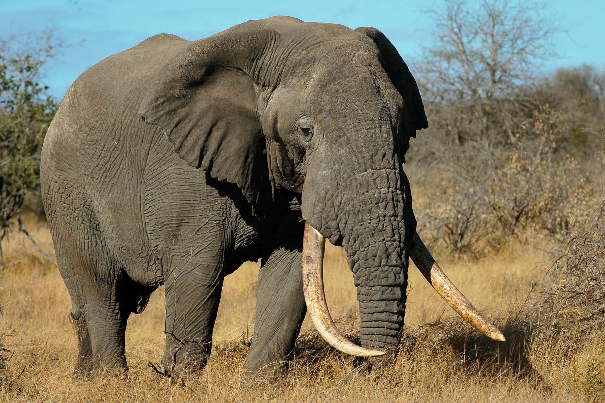 Large elephant bull