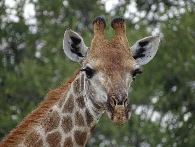 Stock photo of a giraffe in South Africa