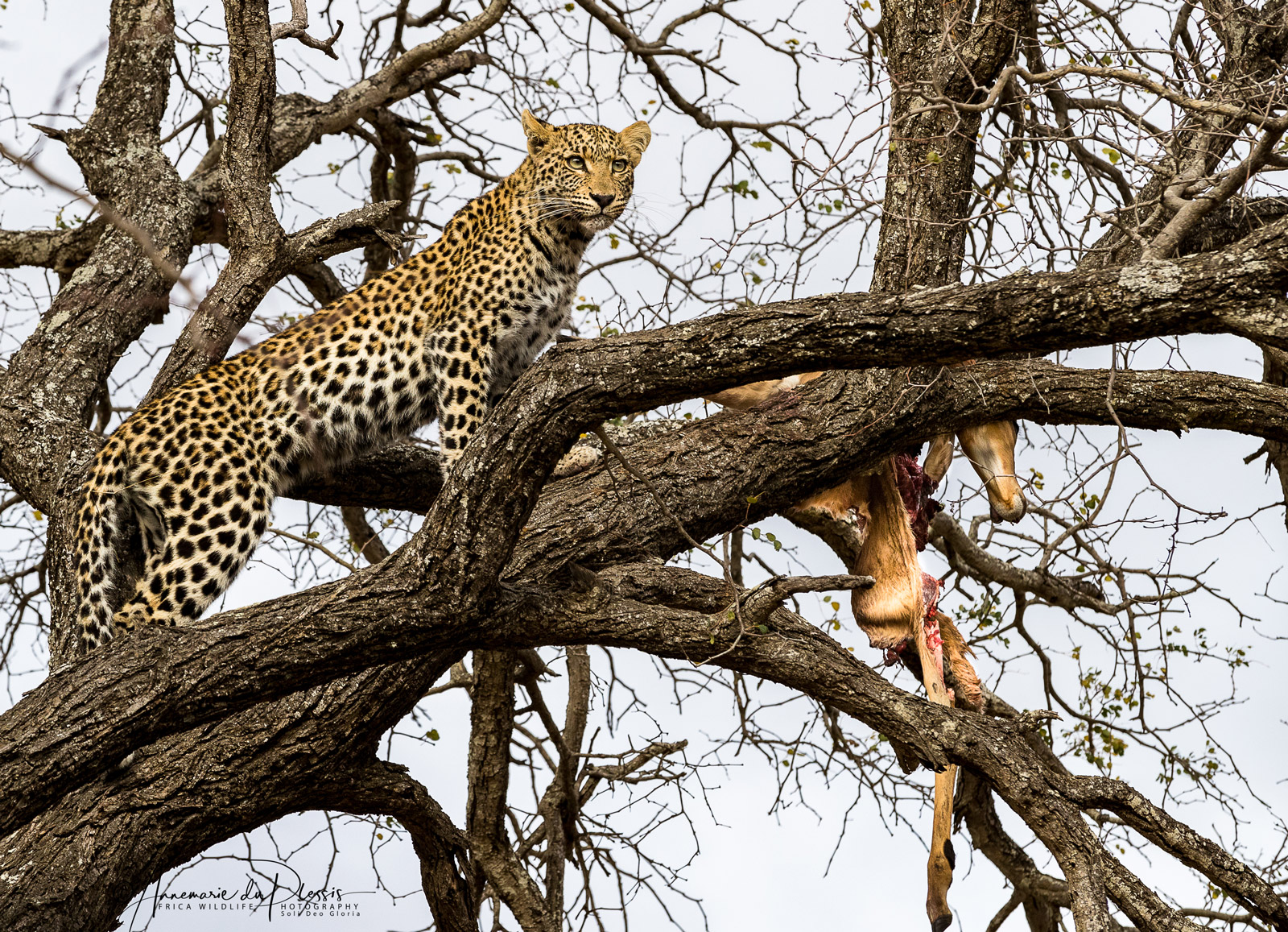 Leopard with kill in a tree